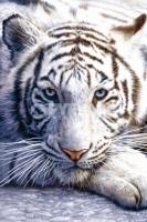 Poster Fotografico Tigre Bianca